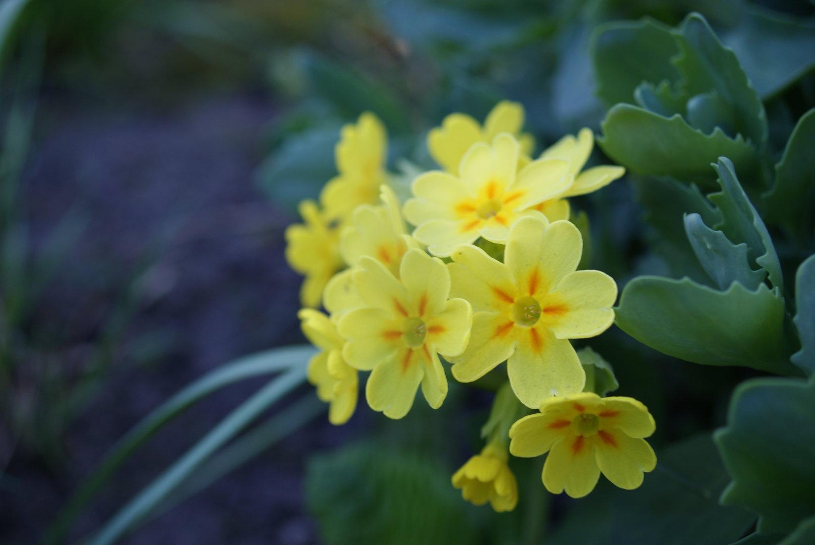 10 Samen Schlüsselblume Gelb Frühlingsblüher Apothekerprimel 10 Seeds