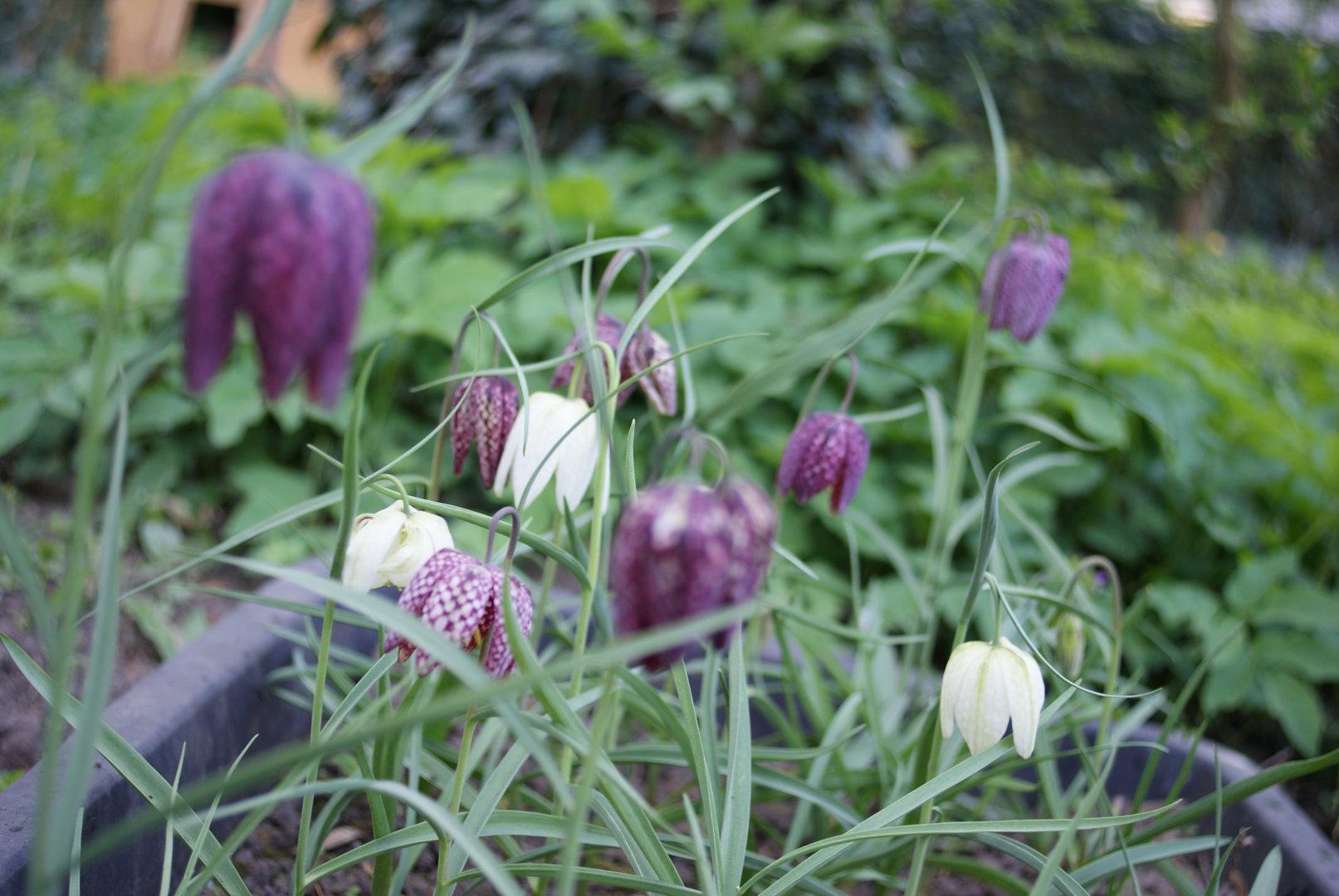 20 x Knollen Schachbrettblume Fritillaria Meleagris Kiebitzei Weiß ...